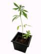 Medical Marijuana Clone Insures Quality Genetics