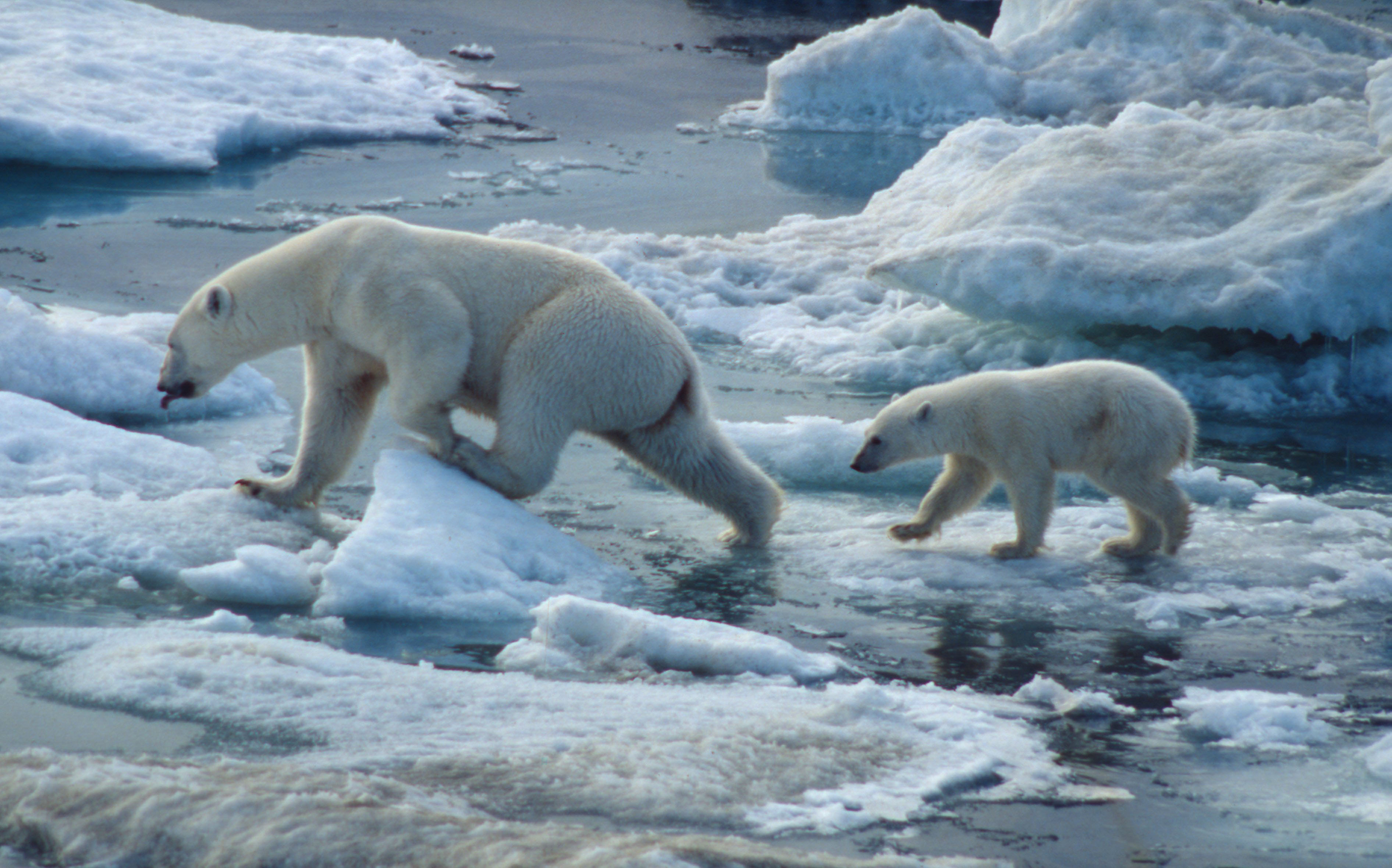 environmental factors affecting the survival of polar bears Yale environment 360: drastic measures are required to save the beleaguered animal from extinction, say scientists.