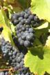 Salisbury Vineyards Pinot Noir grapes