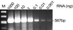 DNase I (0649) treated RNA purified from 1x107 K562 cells with RiboZol (N580) was serial diluted in PCR tubes. Forward and Reverse Primers for -actin were added to the RNA templates. The nucleic acid solutions were heat-denatured at 65C for 5 minutes a