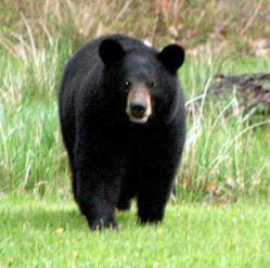 Nevada Black Bear Hunting
