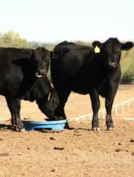 Texas cattle ranchers are using lick blocks made of distillers' grains to help keep their cattle healthy during the drought.