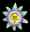 Passiflora from David Leaser's Nightflowers Collection