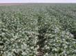 Irrigation Enhanced Cotton