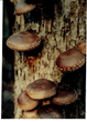 Shiitakes growing on an inoculated log