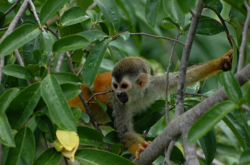 Central American squirrel monkey