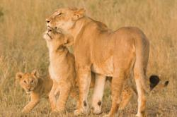 """Spot lions and the rest of the """"Big Five"""" on an International Expeditions' safari (gerlachnaturephoto.com)"""