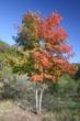 Maples are famous for their fall colors.