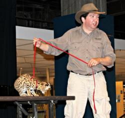 A young African serval at a public repsentation allows the audience to connect with the conservation message.