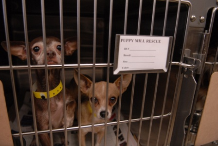 the harm of puppy mills A puppy mill is a commercial dog-breeding facility that focuses on increasing profit with little overhead cost the health and welfare of the animals is not a priority female dogs are bred at every opportunity with little to no recovery time between litters.
