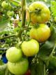 Tropical Tomato @ VolkerKleinhenz.com