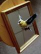 Gold Finch  in flight,  Mirror Mounted
