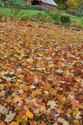 Fall leaves in the late fall garden.