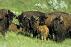 bison, calf, Grasslands National Park