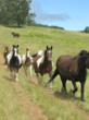 Rescued mares (from right to left) Paulina, Princess, Annabelle, Genny, Bonnie and Ginger used to be identified only as numbers at Canadian PMU farms. Now they have names and are allowed to socialize in their own herds and to run free at Duchess Sanctuary. (Photo credit: Charity Book Series®, Inc.)