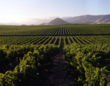 Extensive vineyards of New Mexico