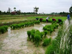 Rice Production @ VolkerKleinhenz.com