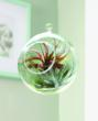 The Glass Globe Tillandsia Terrarium is an attractive living arrangement that can be hung anywhere there is indirect light-- including on a Christmas tree.