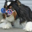 Woofington celebrates the 4th of July glasses