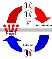 Sexual reproduction @ EurekaMag.com