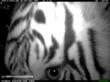 Sumatran Tiger captured on camera trap in 30 Hills, Sumatra