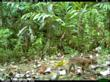 Leopard Cat caught on camera trap in 30 Hills, Sumatra