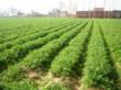 Carrot cultivation @ Olericulture.org
