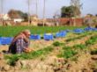 Carrot harvest @ Olericulture.org
