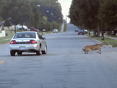 Avoiding deer car accidents
