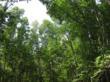 mangrove trees in Thailand