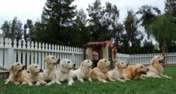 trained golden retrievers, golden meadows retrievers