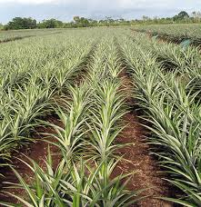 plantation crops production pomology After an evening out drinking with your friends, one person usually holds the responsibility of not becoming intoxicated so that they can drive their loved ones or friends home.