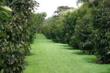 Mangosteen Plantation @ EurekaMag.com