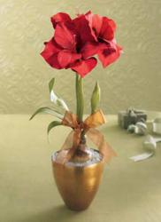 Magnificent Amaryllis Planter