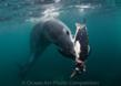 "Nataliya Chervyakova, 1st Place, Marine Life Behavior 2011, ""Hunting Leopard Seal"""