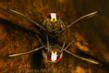 """Anders Salesjö, 1st Place, Macro 2011, """"Backswimmer at Surface"""""""