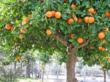 Tangerine @ Pomology.org