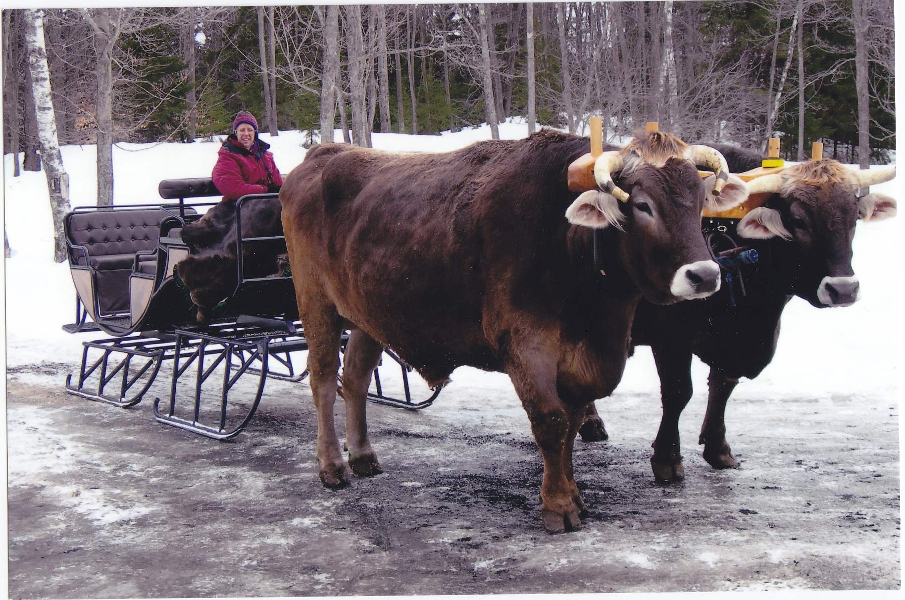 Cow Pulling Wagon : Mikey the awesome cow who thinks she s a dog pics