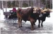 Brown Swiss oxen pull sleigh in Vt