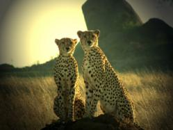Co-Winner: The Travel Word Photo of the Year 2011 - Cheetahs Posing, Dar Es Salaam, Tanzania