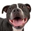 pit bull, Vick dog