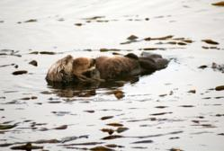 Otter in Morro Bay