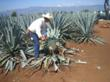 Agave farming in Tequila, Jalisco, Mexico