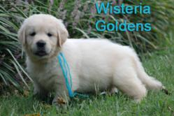 Wisteria Goldens English Cream Golden Retriever Puppy