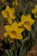 Daffodil Gardens