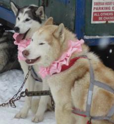 Mush for a Cure Sled Dog Race