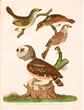 "The "" Seaside Finch "" top left by the Father of American ornithology"