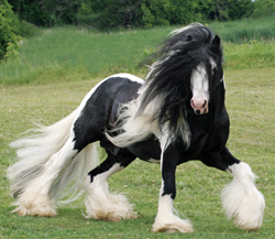 black and white horse, natural horse feed