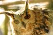 Hoot the resident Owl