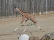 Baby Giraffe, Maggie, Born at Oakland Zoo